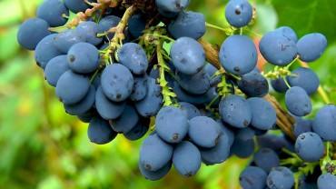 mahonie-frucht