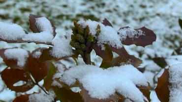 mahonie-winterhart