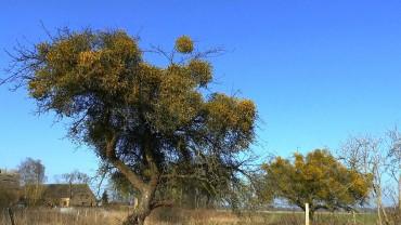 mistel-obstbaum