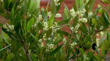 olive-blueten