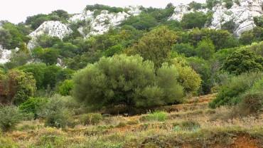 olive-wild