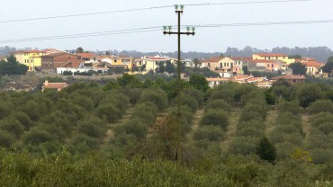 oliven-anbau