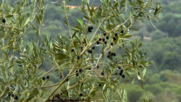 oliven-reif