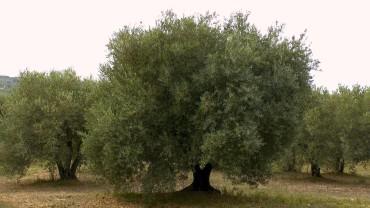 olivenbaum-anbau