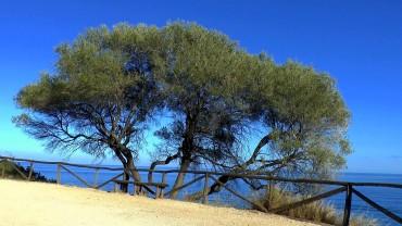 olivenbaum-meer