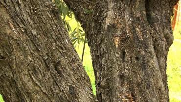 olivenbaum-stamm