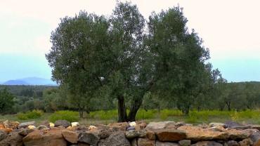 olivenbaum-standort