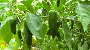 paprika-spitz-gruen
