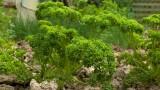 petersilie-krause-anbau