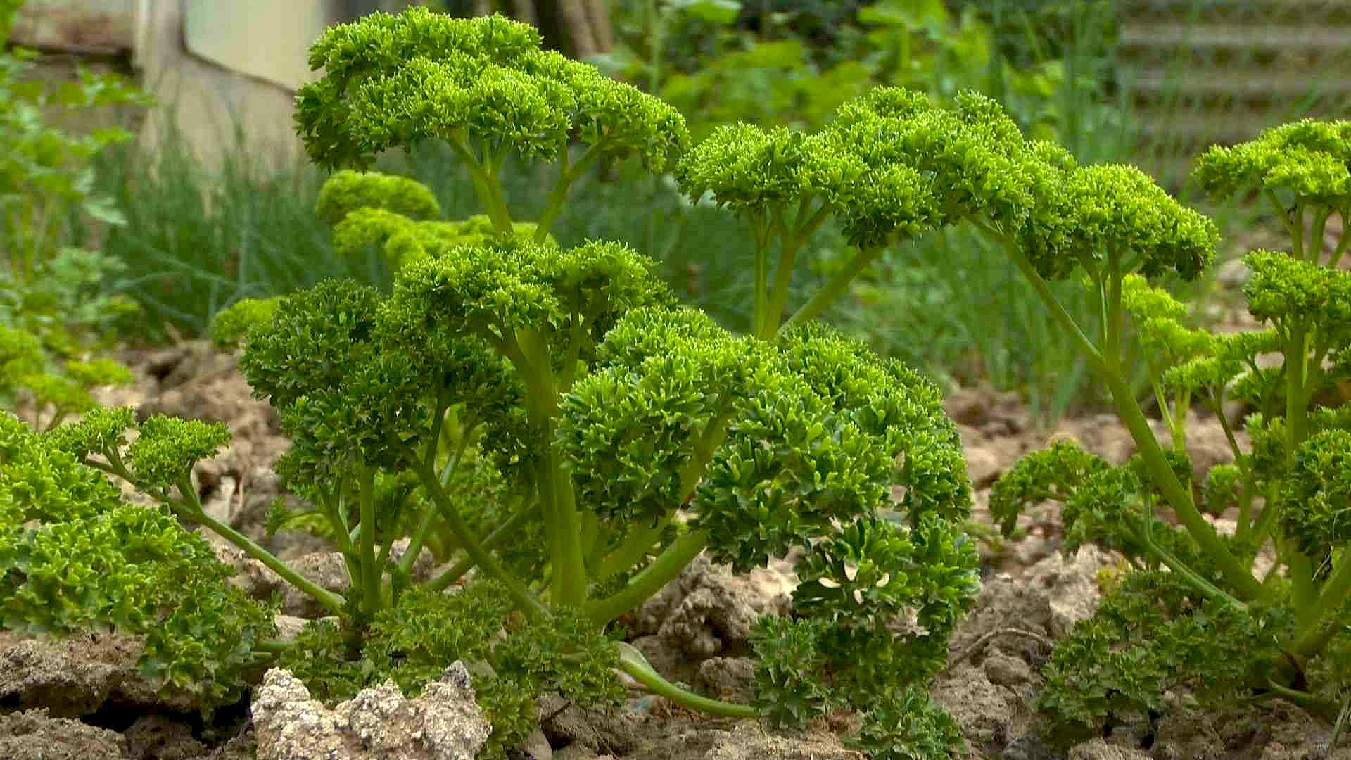 Petersilie Verwendung In Der Küche   Petersilie Gartennatur