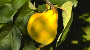 quitte-frucht-birnenquitte