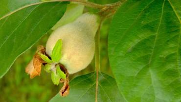 quitte-fruchtbildung