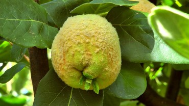 quitte-fruchtbildung-flaum