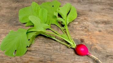 radieschen-pflanze