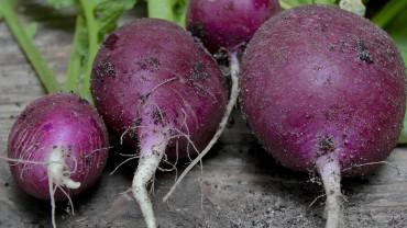 radieschen-rotviolett