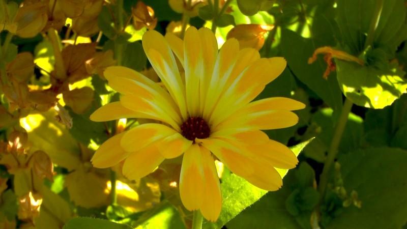 ringelblume-calendula-bluete-gelbweiss