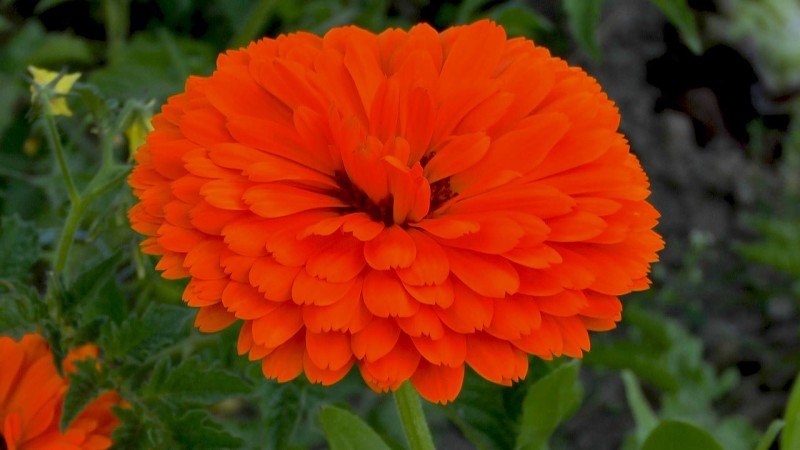 ringelblume-calendula-bluete-orange-gefuellt