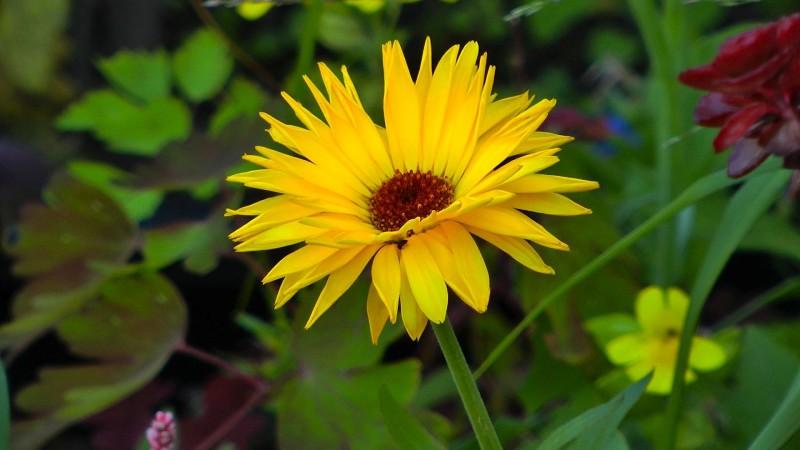 ringelblume-calendula-gelb