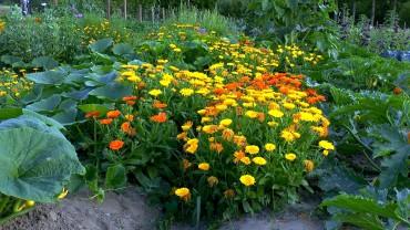 ringelblume-calendula-gemuesegarten