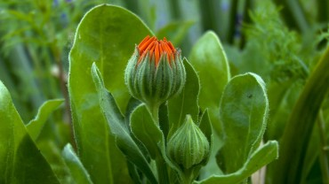 ringelblume-calendula-knospe