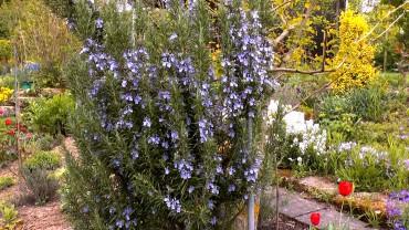 rosmarin-bluete-garten