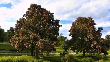rosskastanie-bluete-rot-park