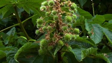 rosskastanie-fruchtbildung
