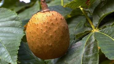rosskastanie-kapselfrucht-rot