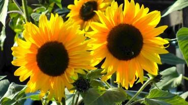 sonnenblume-blueten
