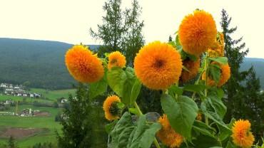 sonnenblume-blueten-gefuellt