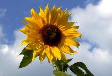 Sonnenblume – Wuchs, Pflege und Ernte