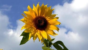 sonnenblume-frische-bluete