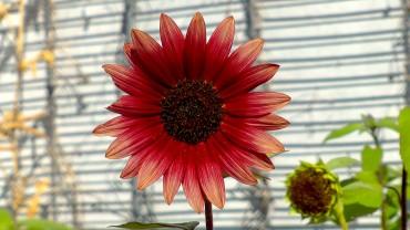 sonnenblume-rote-sorte