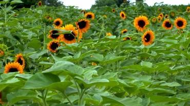 sonnenblumen-feld