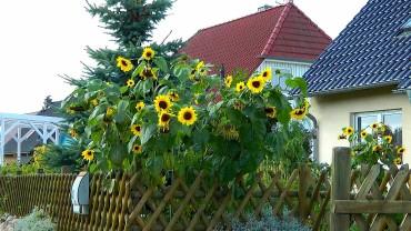 sonnenblumen-garten