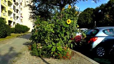 sonnenblumen-strassenrand
