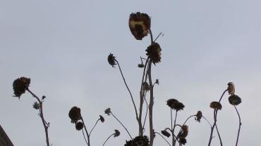 sonnenblumen-winter