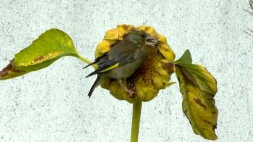 sonnenblumenkern-vogel