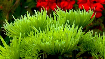 strahlen-chrysantheme