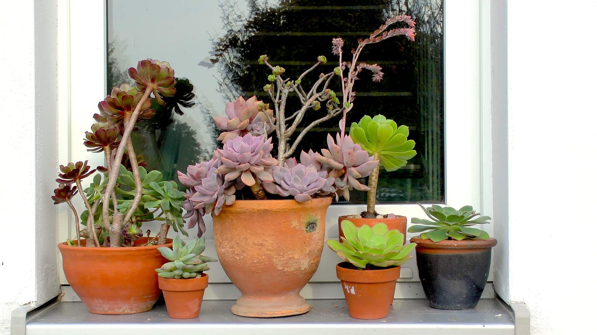 Sukkulenten Zimmerpflanzen sukkulenten pflegehinweise gärtnertipps und weitere