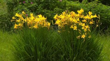taglilie-bluete-gelb-garten