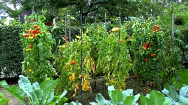 tomate-anbau-garten