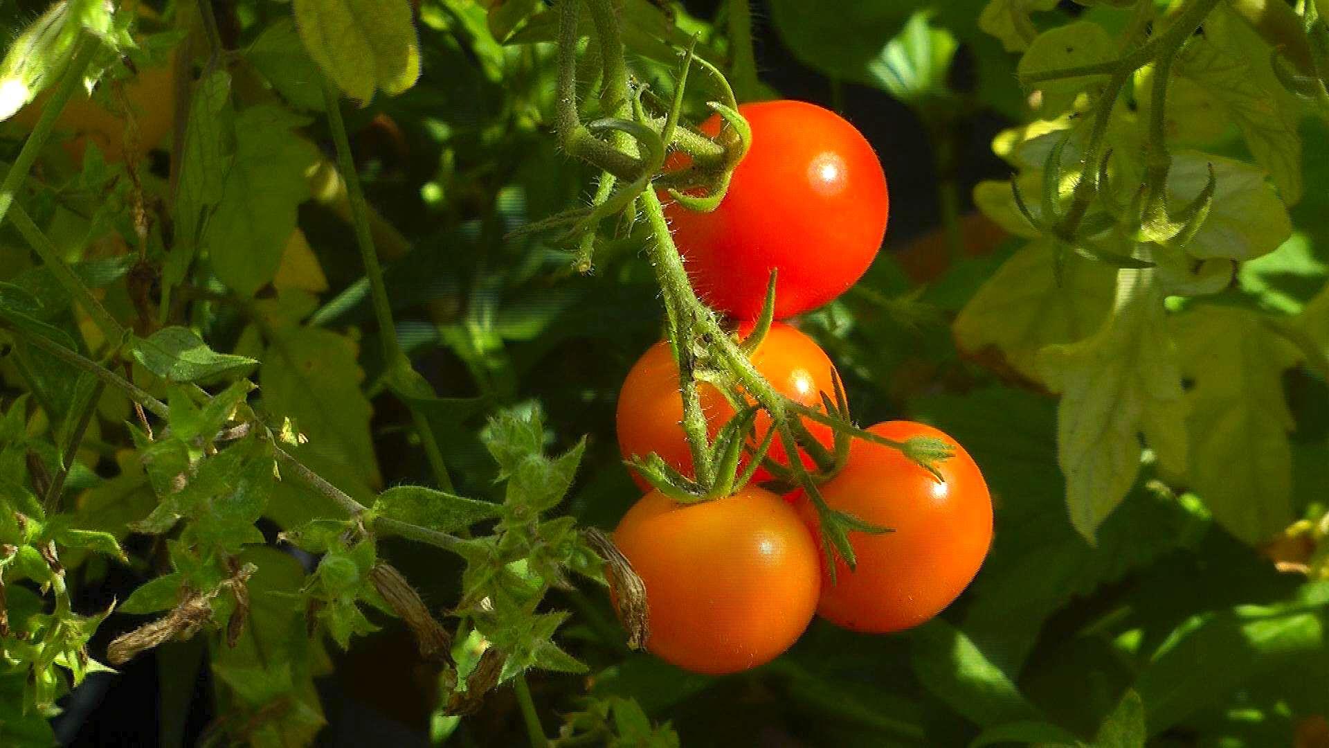 Tomate - Video, Pflegehinweise, Gärtnertipps und weitere ...