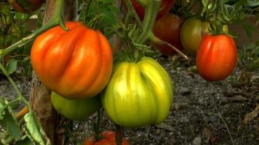 tomate-fruchtbildung-ochsenherz