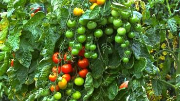 tomate-garten-reift