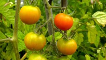 tomate-reift