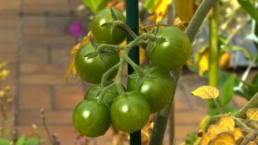 tomate-rispe