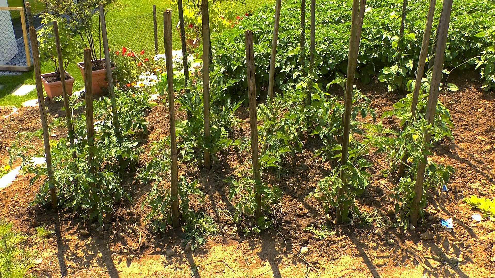 tomate video pflegehinweise g rtnertipps und weitere informationen zu tomaten auf garten. Black Bedroom Furniture Sets. Home Design Ideas