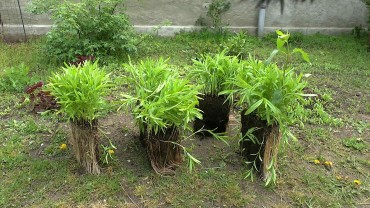 topfpflanze-teilen-geteilt