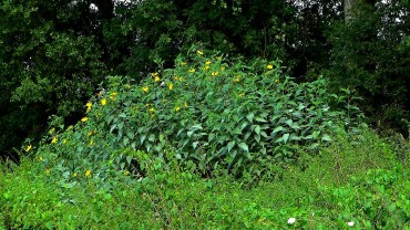 topinambur-verwildet-mehltau
